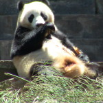 Un grand panda mal