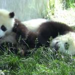 Les pandas très mignons