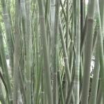 Les bambous, plantes traditionnelles en Chine