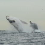 Rencontre avec les baleines à bosse