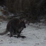 Un kangourou s'invite sur la plage