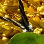 Les jolis papillons