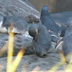 Découverte des pingouins bleus
