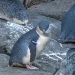 Rencontre avec les petits pingouins bleus