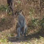 L'Australie c'est aussi les kangourous