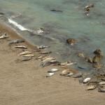 Phoques, lions de mer et éléphants de mer... sur la plage