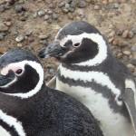 Les pingouins se promènent dans la ville