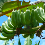 Le musée de la banane nous fait découvrir la richesse de cette herbe géante