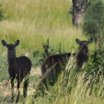 nos premières antilopes ou cope d'Ouganda