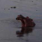 un hippopotame au coucher du soleil
