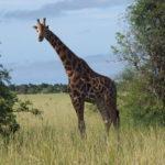 Une belle girafe