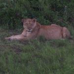 Une lionne au coucher du soleil