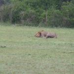 Le roi de la savane fait la sieste