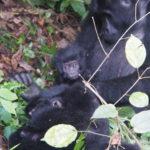 Les petits gorilles trop mignon