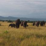Les éléphants saluent notre arrivée à Queen Elizabeth