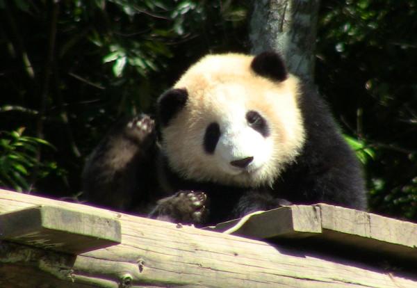 Ces pandas tout mignons