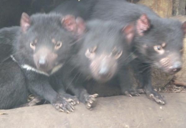 A la rencontre des diables de Tasmanie
