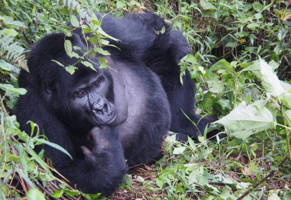 Rencontre avec les gorilles des montagnes