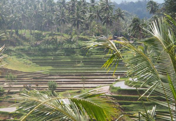 Première marche dans les rizières